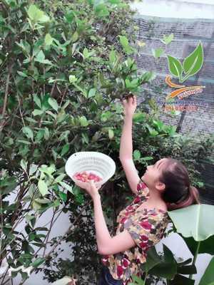Cây Giống Cherry Brazil - Dễ Trồng Dễ Chăm Sóc