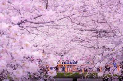 Du xuân Nhật bản ngắm hoa anh đào cùng ETV ms Huyền 0966001379
