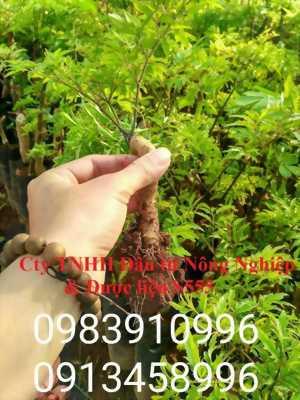 Cung cấp cây giống đinh lăng uy tín và thu mua đinh lăng toàn quốc