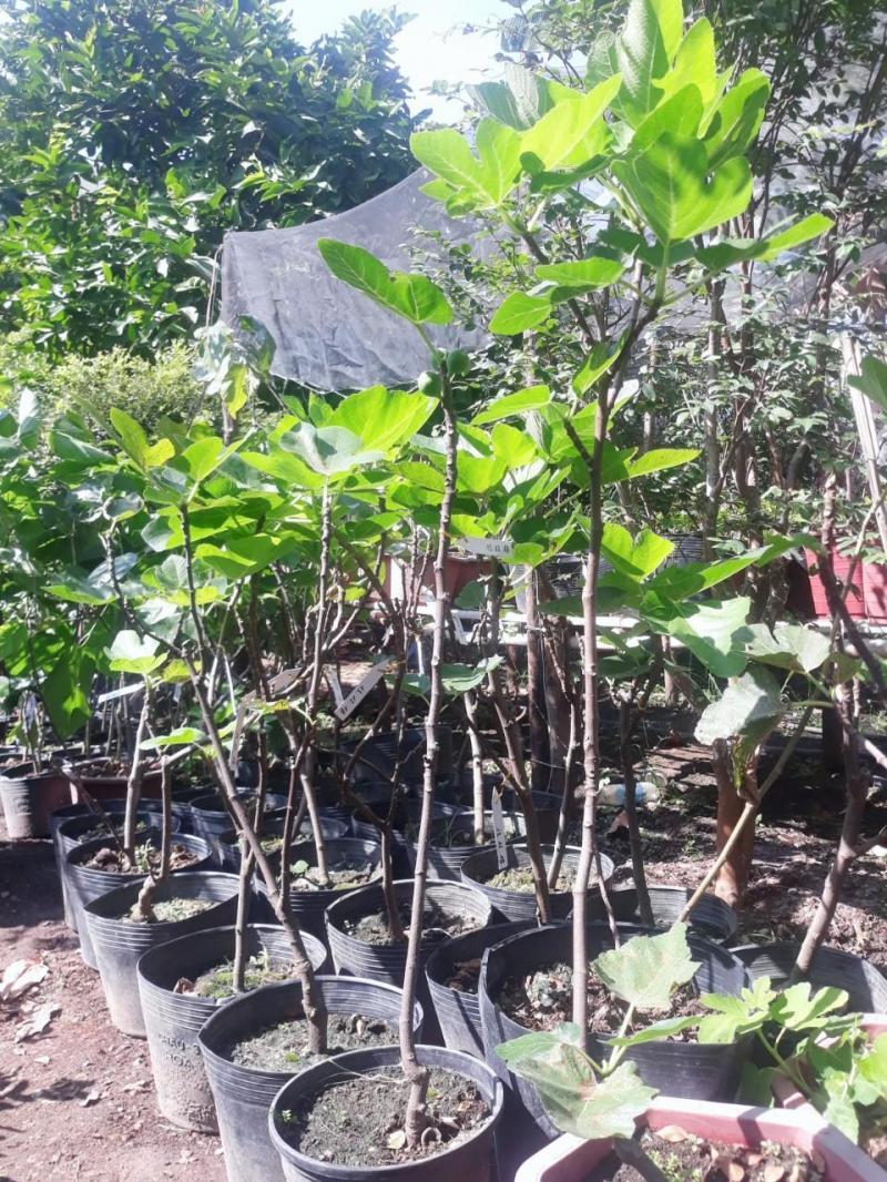 Sung Mỹ Siêu Ngọt - Cây Giống Tại Nhà Vườn