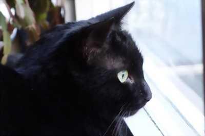 Bán mèo mặt đen tiền giang