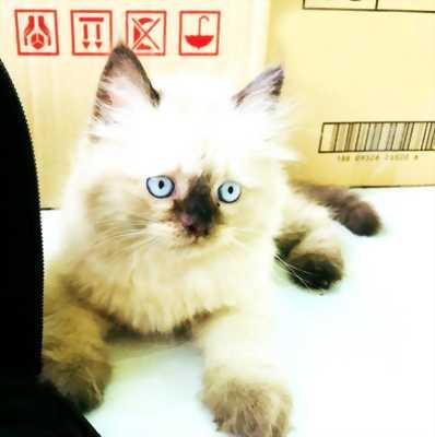 Tìm chủ cho Bé Mèo HYMA thuần ú na ú nần cực cute