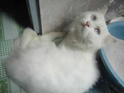 Bán mèo anh trắng mắt xanh đã được tiêm ngừa đủ