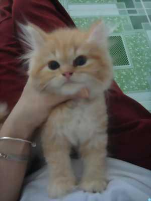mèo ba tư x scottish highland tìm chủ yêu thương