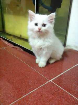 Bán đàn mèo lai anh lông dài