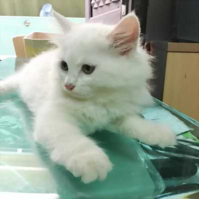 Bán mèo con thuộc giống mèo Nga