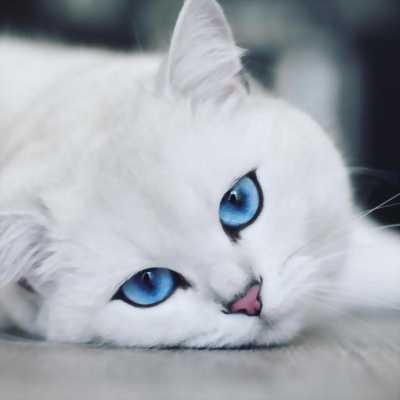 Mèo Nga lai trắng mắt xanh