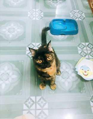 Cần bán mèo Scottish tam thể, màu hiếm