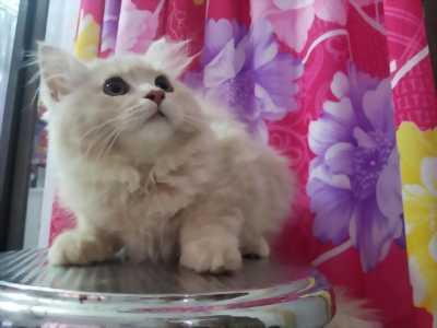 2 bé mèo cực Kute lông màu vàng phấn tìm chủ iu thương tại HCM