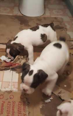 Cần bán đàn chó cảnh có 4 con