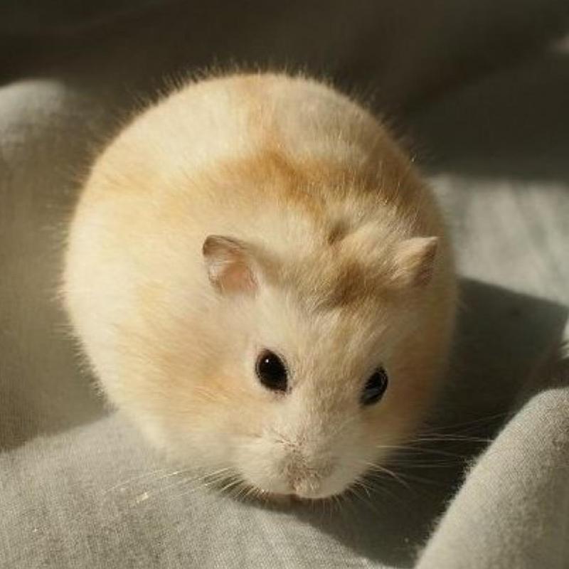 Hamster sóc winter white
