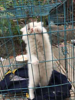Mèo Highland fold