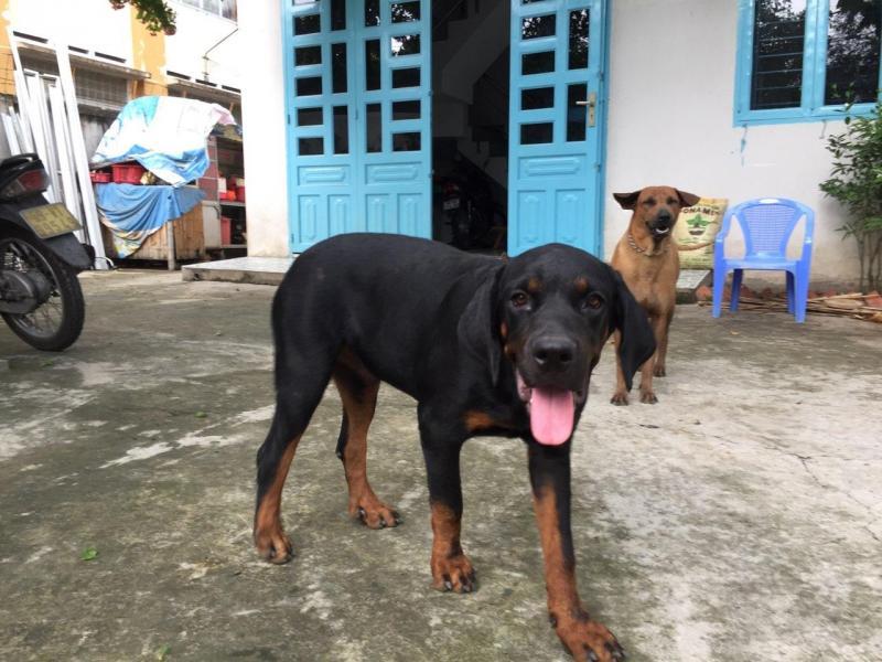 Tìm chủ cho bầy chó con lai 2 giòng thuần chủng Rott và Phú Quốc Thái