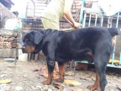 Chó Rottweiler cái