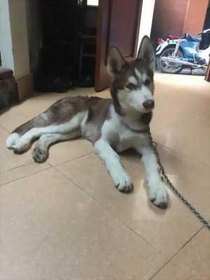 Chó Husky 6 tháng tuổi.