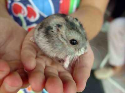 Cần mua 1 cặp hamster winter white ở Châu Thành TG