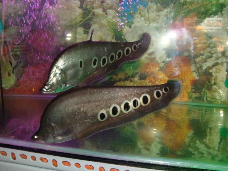 Cá Nàng Hai Cần Bán tại Đồng Tháp