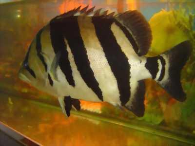 Cần bán cặp cá hiếm tại Đồng Tháp