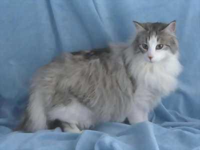 Mèo anh lông dài cái tại Đồng Tháp