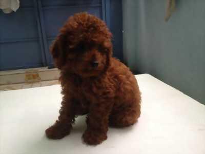 Cần rã bầy poodle 1 tháng tuổi chó nhà đẻ tại Đồng Tháp