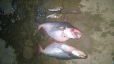 Bán cá dồ câu dưới sông ở Đồng Tháp
