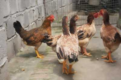 Cần bán 2 gà mẹ chọi đang đẻ.