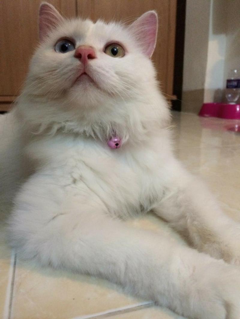 mèo lai