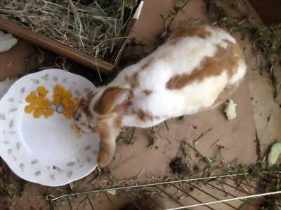 Thỏ con