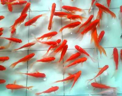 Cá giống đaklak