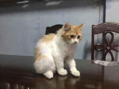 Mèo Anh lông siêu dài (hình thật)