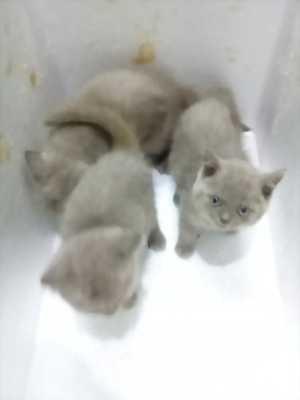Mèo ALN tai cụp Scotish