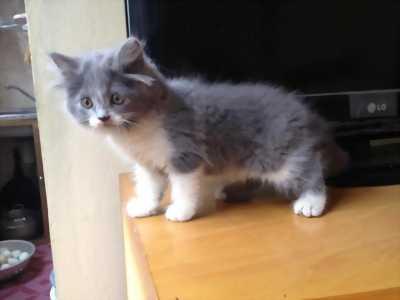 Mèo Anh Bicolour , xanh xám