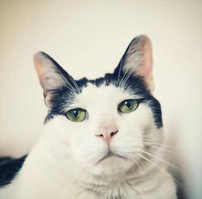 Mèo nhật lông ngắn, ngắn đuôi