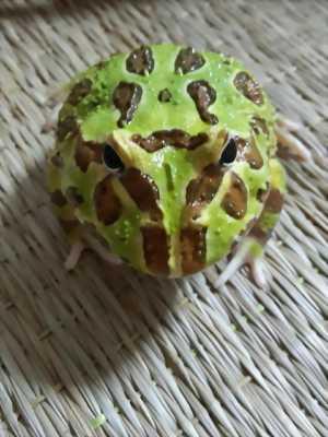 Ếch Pacman (Green)