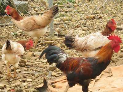 Mình bán gà xuống ổ hơn tuần