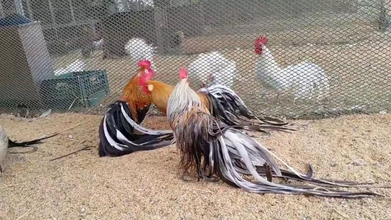 Bán gà tre bắc fom nhỏ