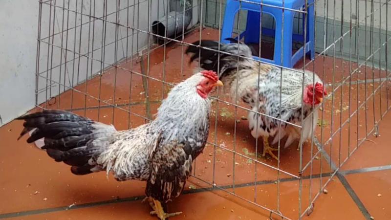Bán mấy em gà tre bắc vừa và nhỏ.