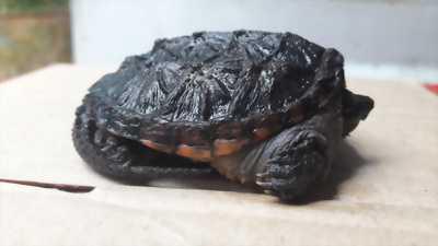 Rùa khủng long cổ đại babe