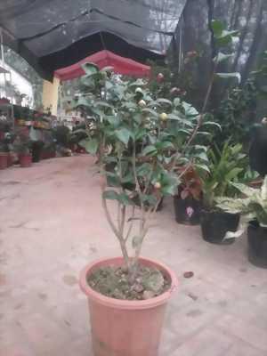 Bán cây Hoa Trà