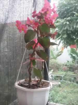 Hoa lan giỏ màu đỏ hồng