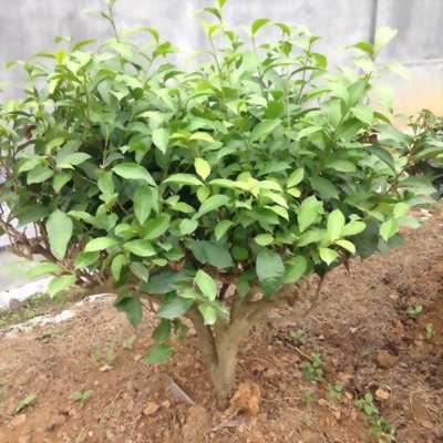 Bán cây chè xanh