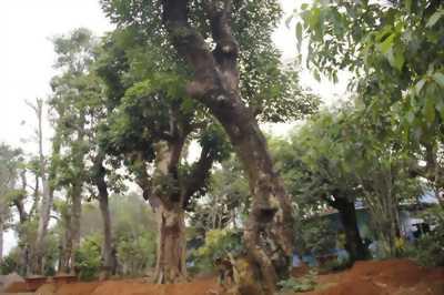 Cần bán cây khế 70 năm tuỗi