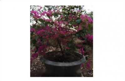 Mình cần bán cây hoa giấy nở bốn mùa đẹp lắm nhé, cây khỏe, không bệnh gì đâu nha, giá cả hữu nghị nhất luôn