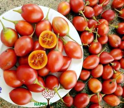 Cà chua thân gỗ cây con - cây lớn đang có trái tại Tp Hcm