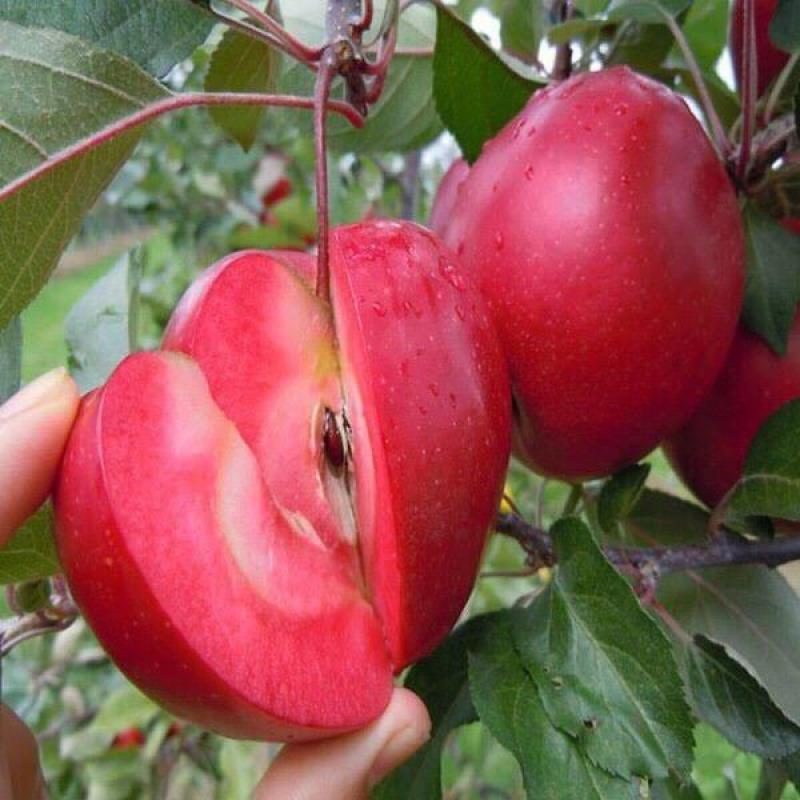 Táo Siêu lùn đang có trái sum xuê tại vườn TPHCM