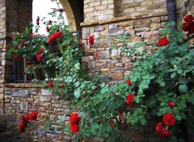 Một số loại hoa hồng cổ nên trồng