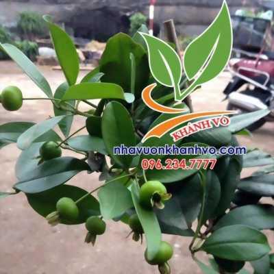 Cherry trồng ở Việt Nam có trái không