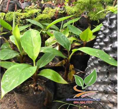 Chuối đỏ Dacca Úc cây đẹp - giá tốt
