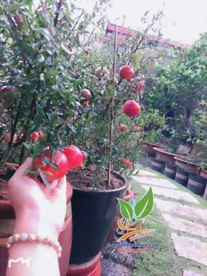 Lựu đỏ Ai Cập đang sẳn trái, mua về trồng ngay nhé!
