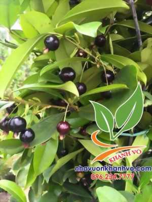 Cây cherry Brazil rất phù hợp khí hậu nước ta